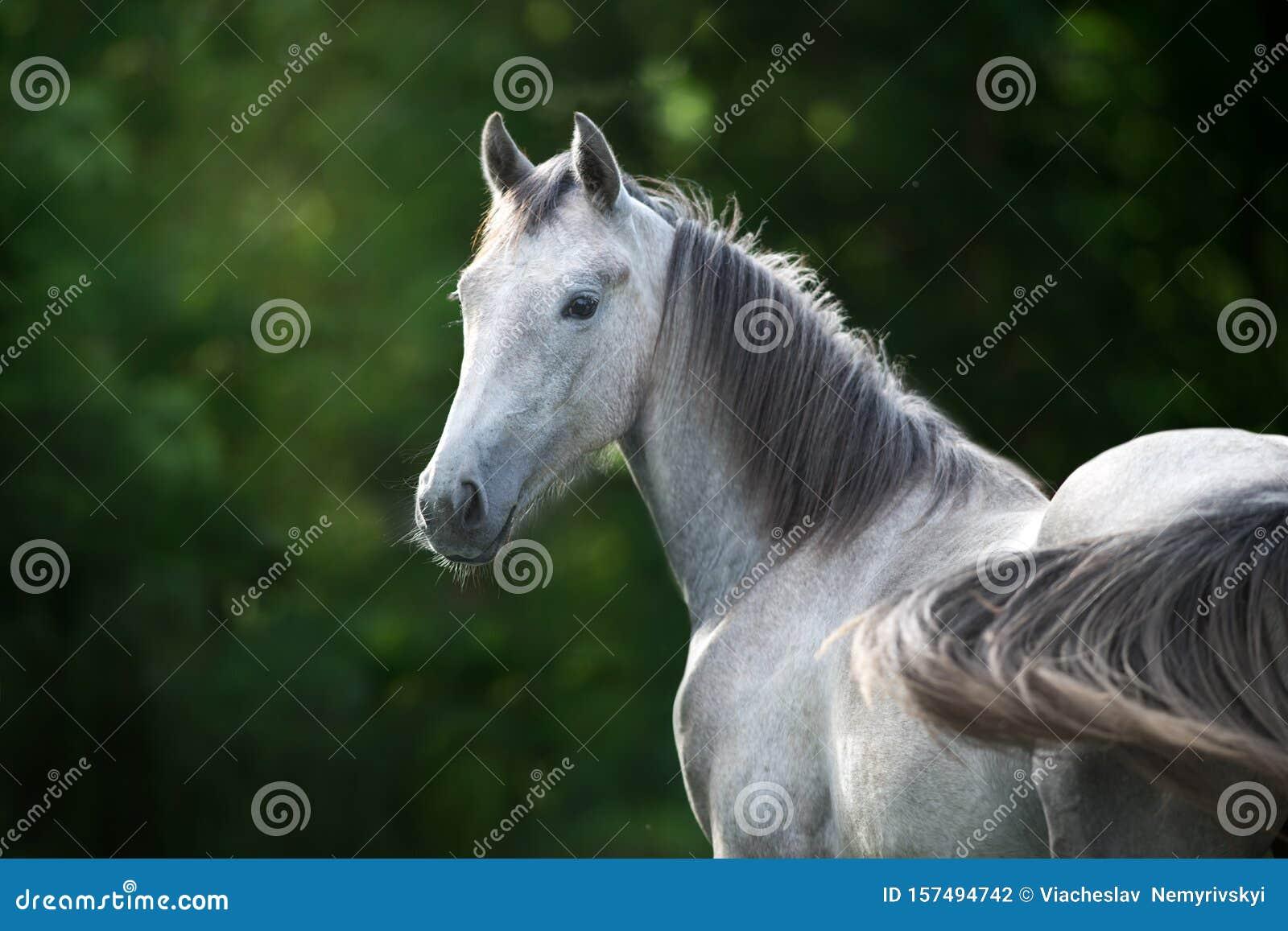 Grey Horse Portrait Stock Photo Image Of Beautiful 157494742