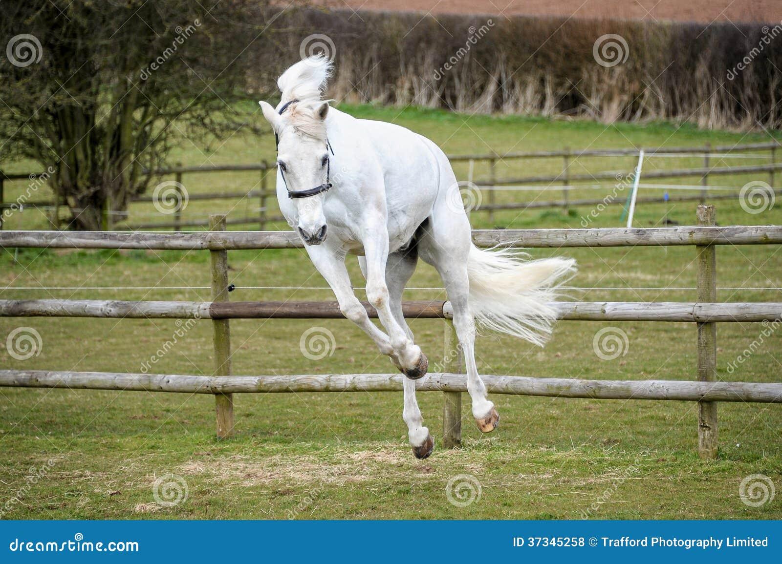 Grey Horse som sparkar bakut i fält