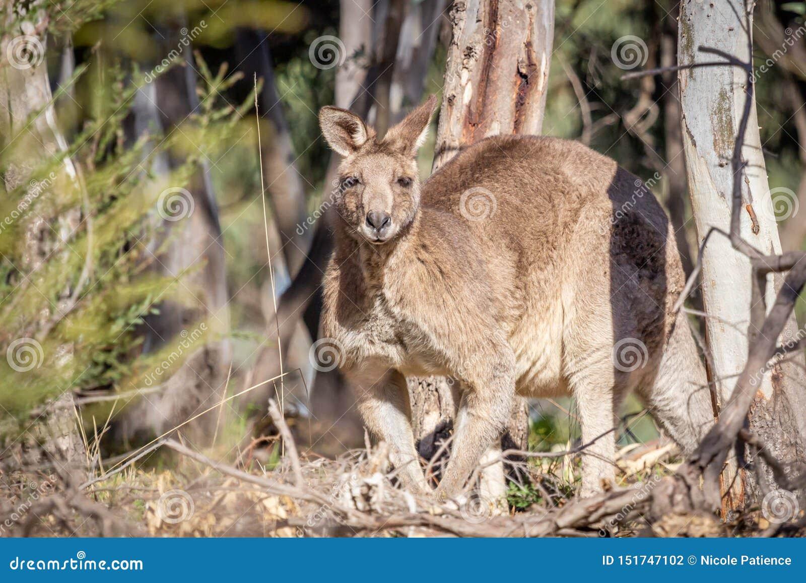 Grey Kangaroo orientale maschio selvaggio, parco storico dei terreni boscosi, Victoria, Australia, giugno 2019