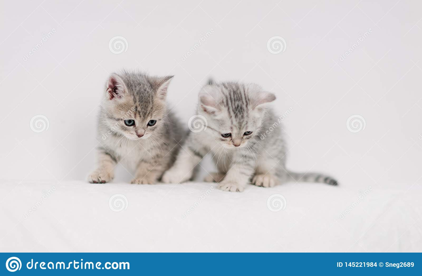 Grey kittens playing on a white sofa