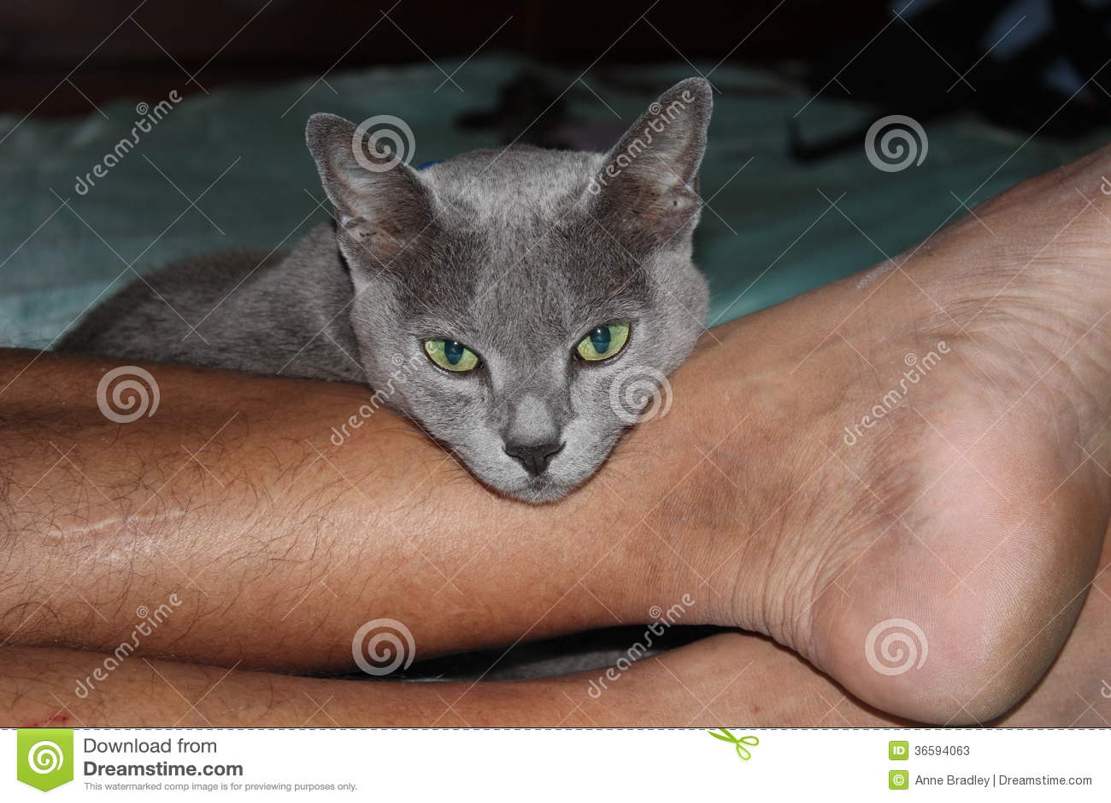 K Battle Korat Grey Korat Cat ...