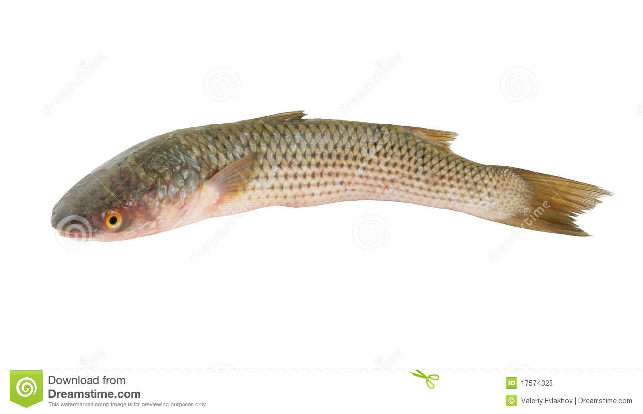 Grey mullet fish isolated stock image image of tasty for Eating mullet fish