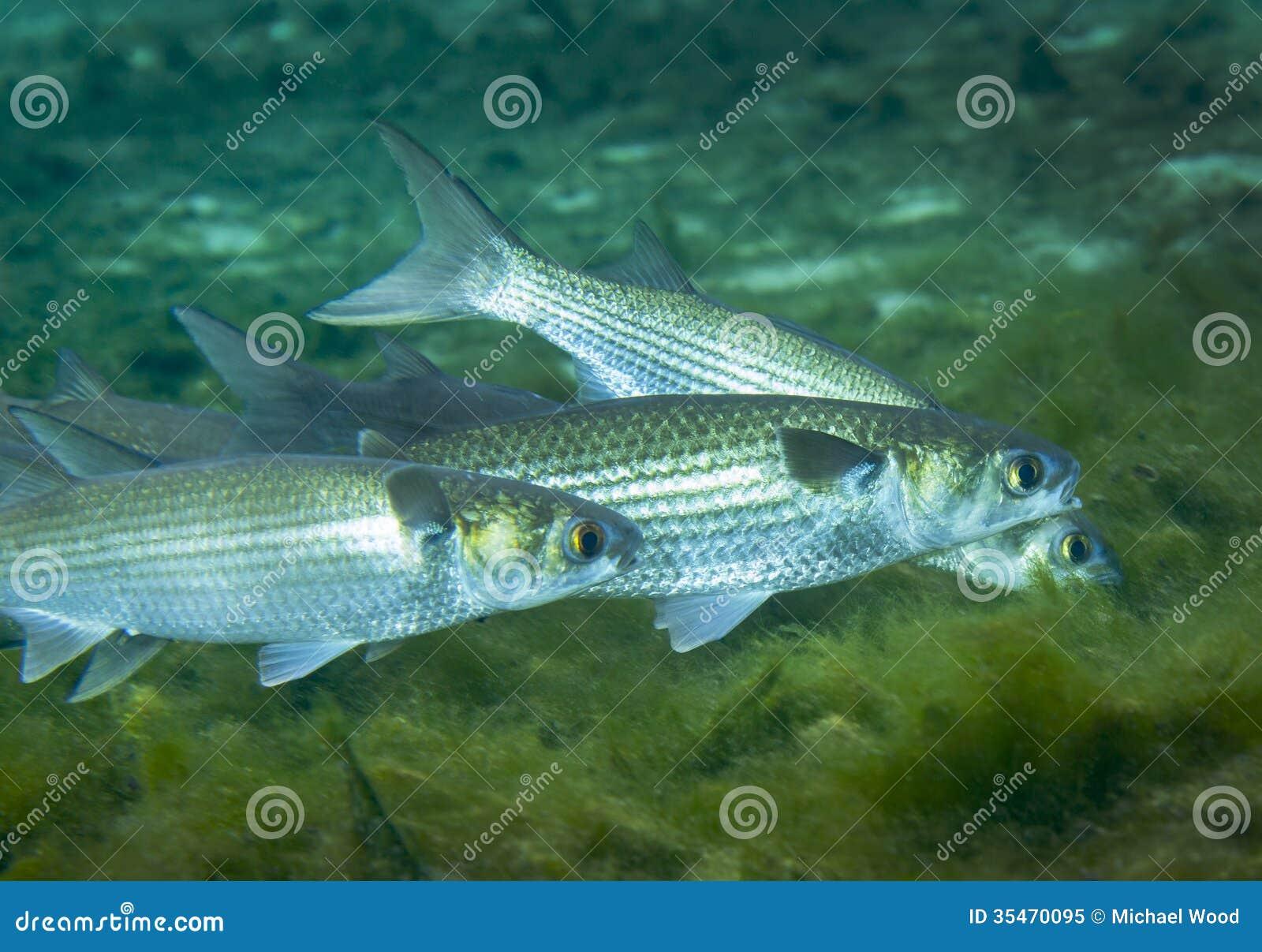 Grey mullet foraging fanning springs royalty free stock for Mullet fish florida