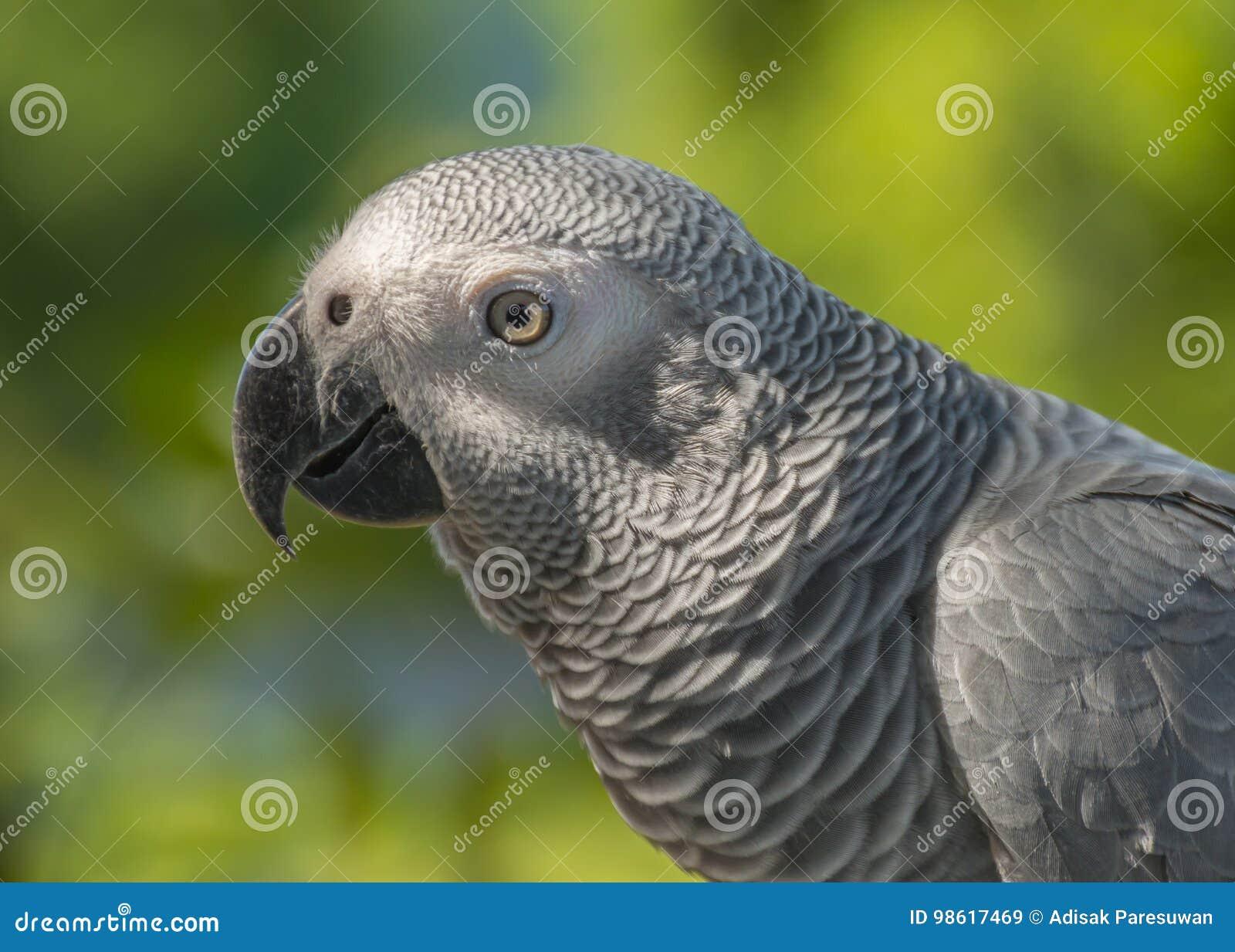 Grey Parrot o loro del gris africano