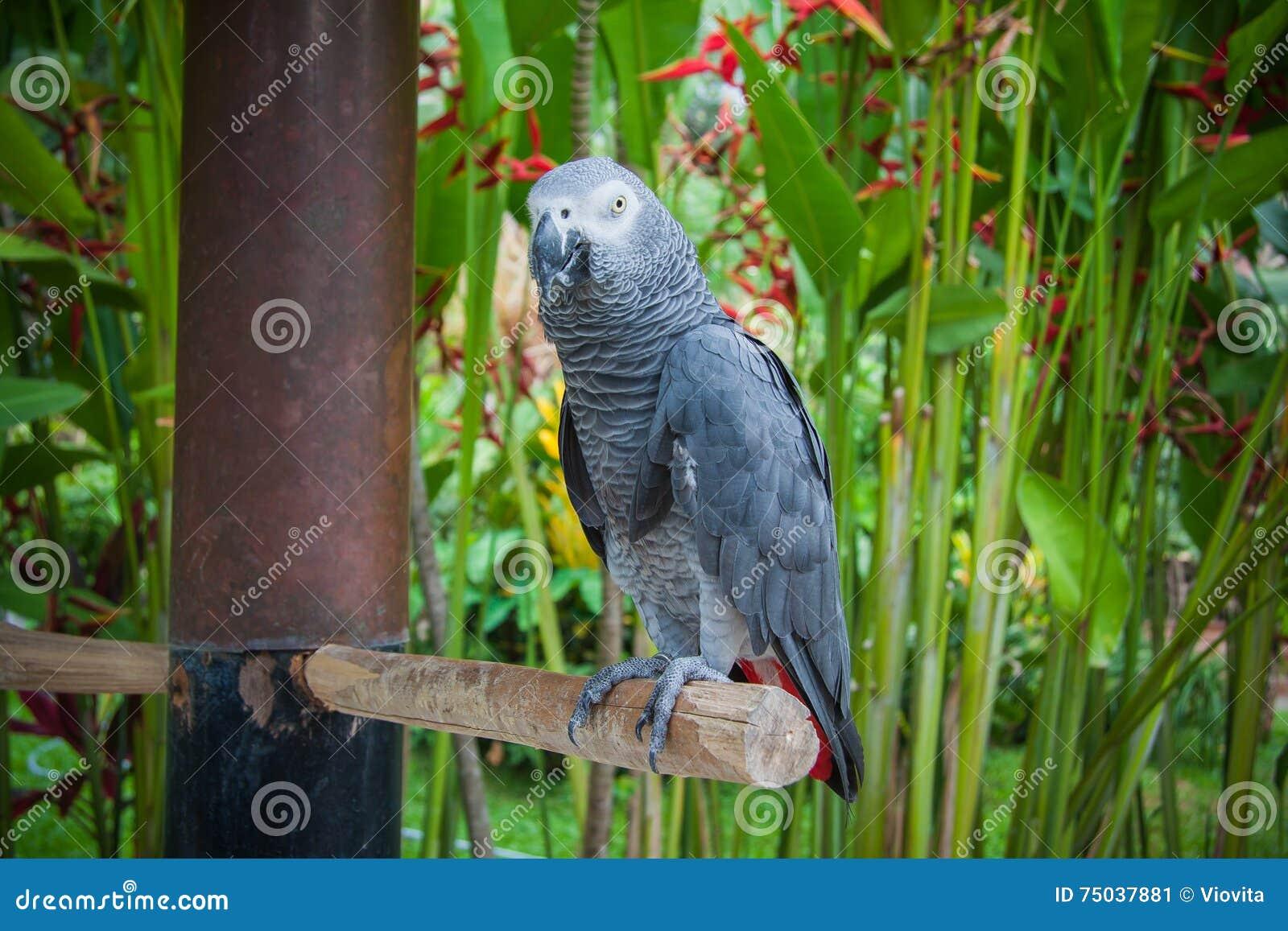 Grey Parrot Wildlife In Bali Birds And Reptiles Park Stock Image