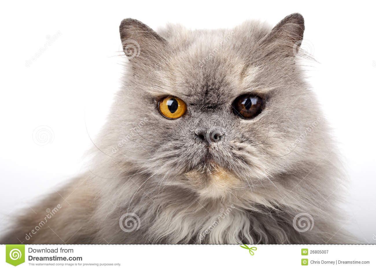 Grey Persian Cat Royalty Free Stock graphy Image