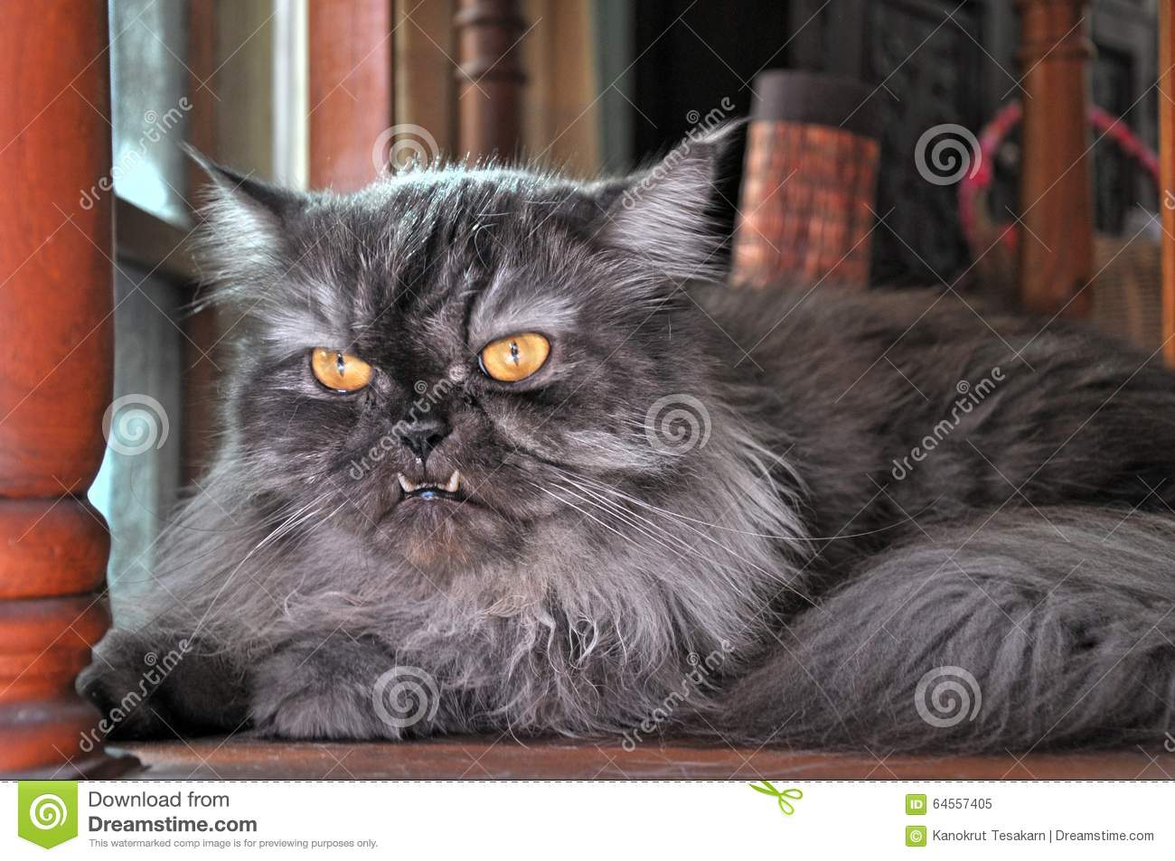 Grey Persian Cat With Protrude Fangs Stock Image