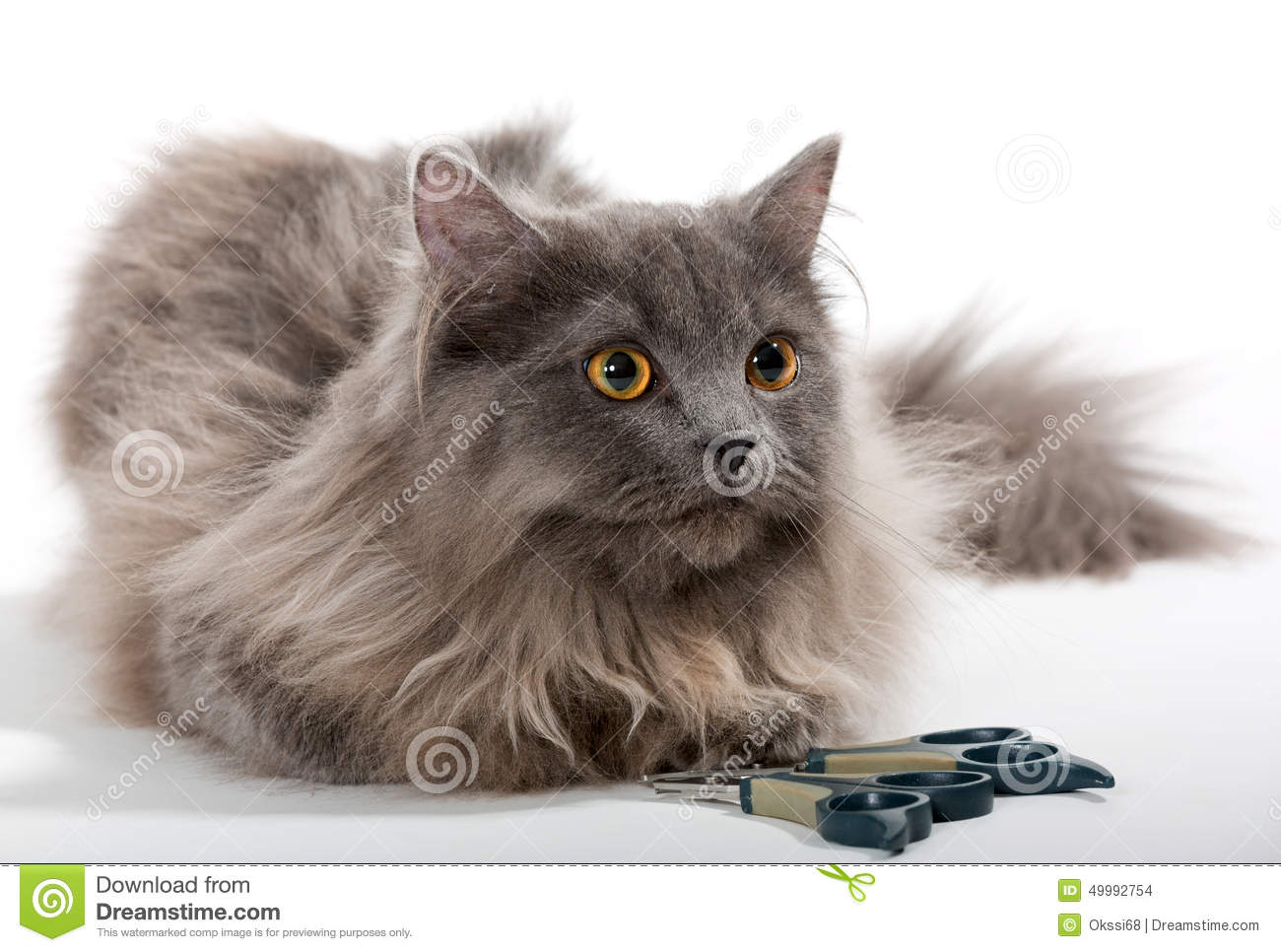 Grey Persian Cat And Tools For Care Stock Image