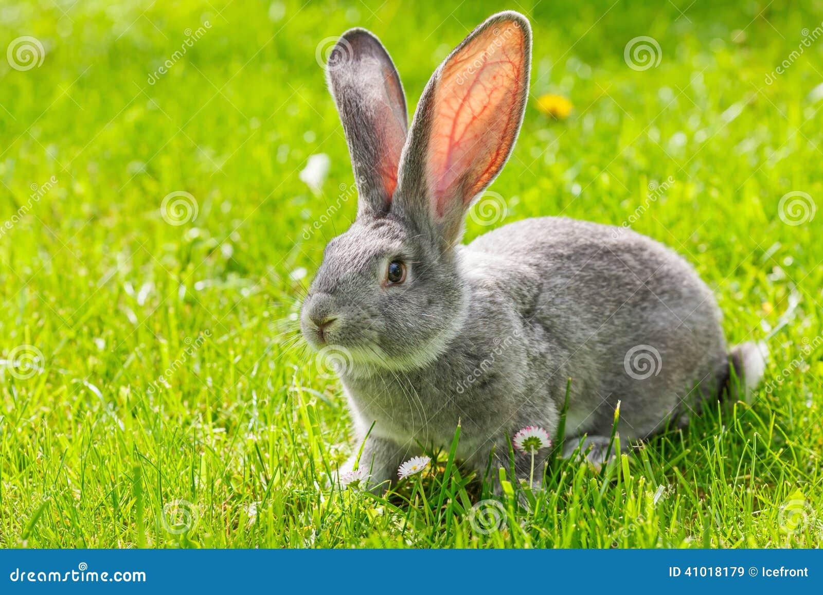 Grey rabbit in green grass