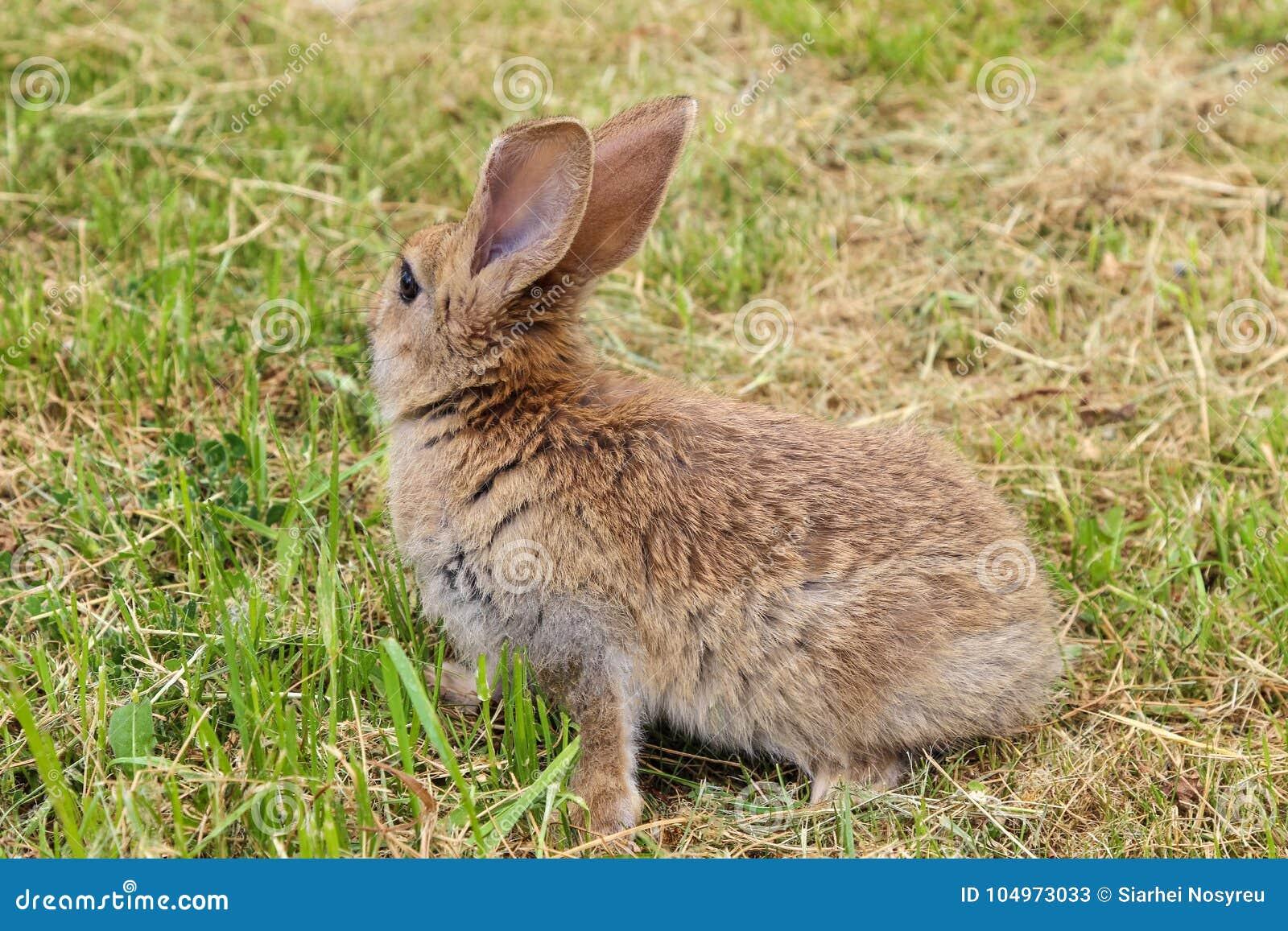 Grey rabbit sitting on green grass decided to run away.