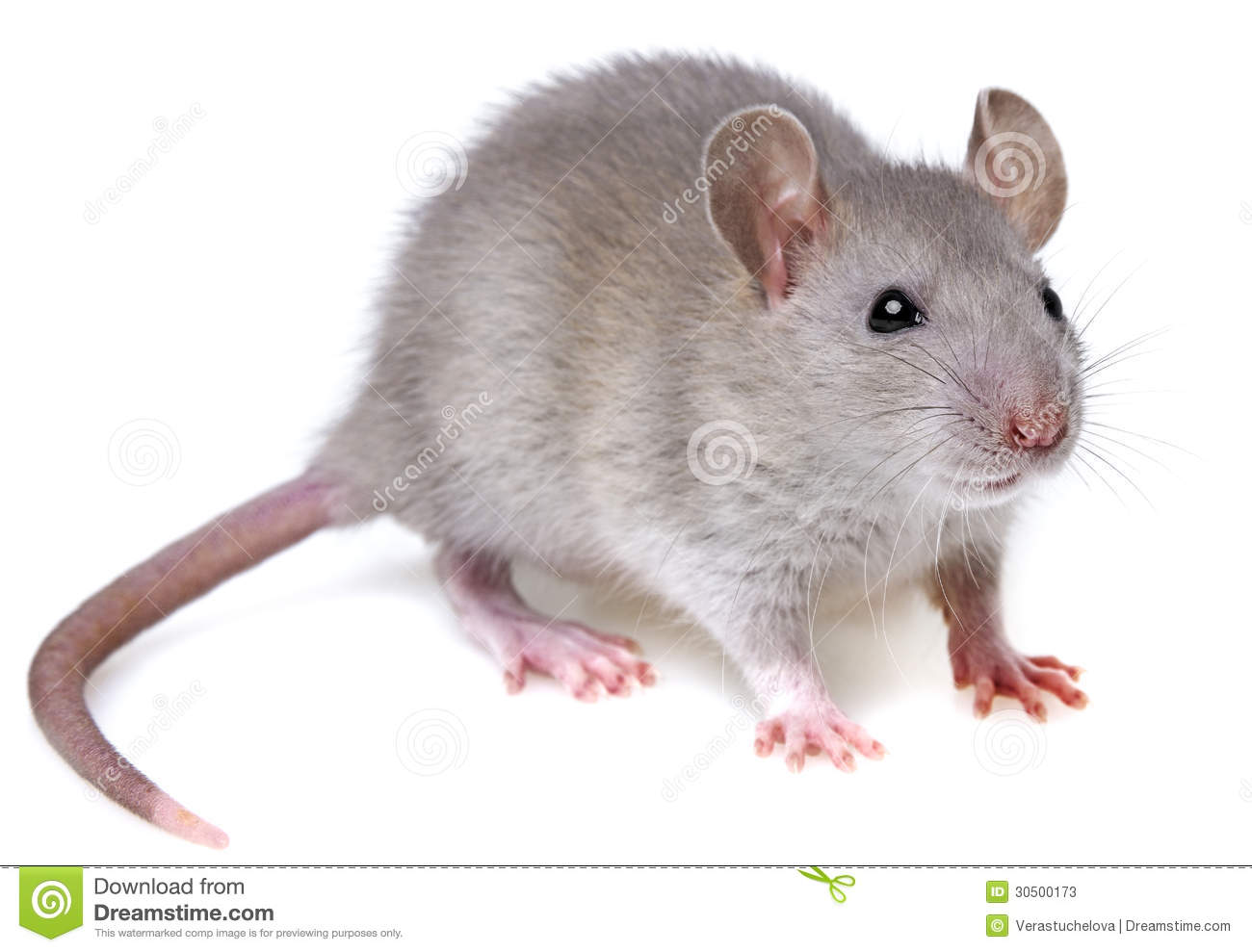 Grey Rat Stock Photos - Image: 30500173