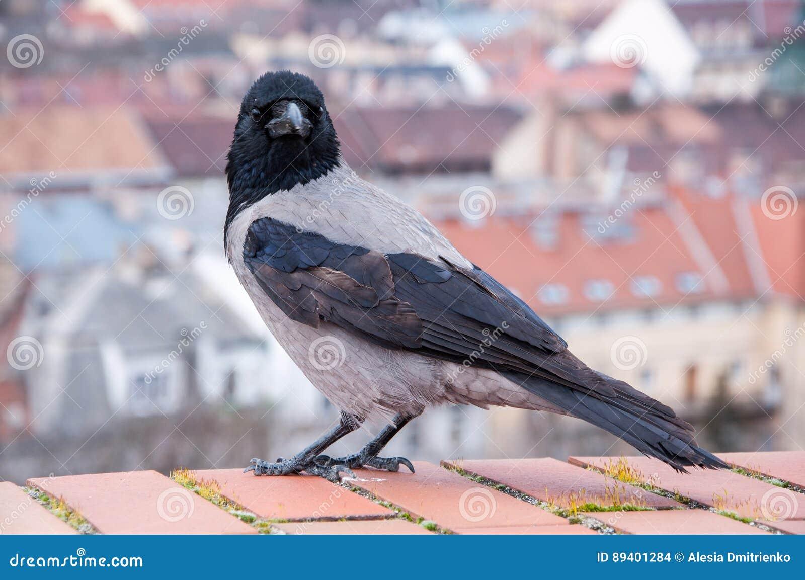 Grey Raven no fundo das casas húngaras