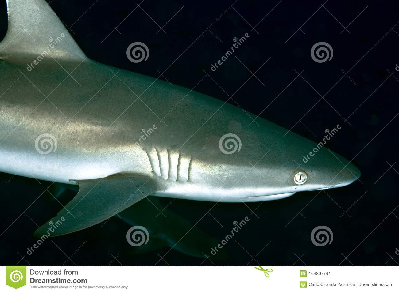 Grey Reef Shark Carcharhinus amblyrhynchos close-up portrait
