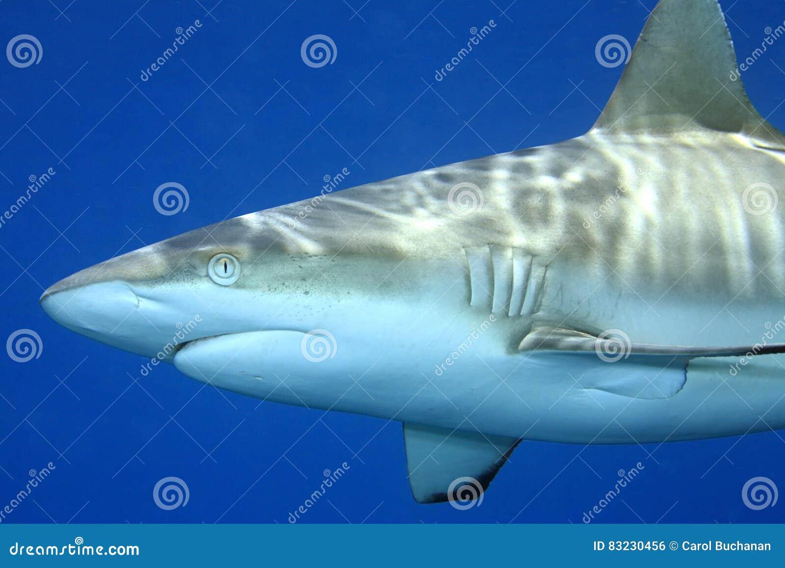 Grey Reef Shark Carcharhinusamblyrhynchos
