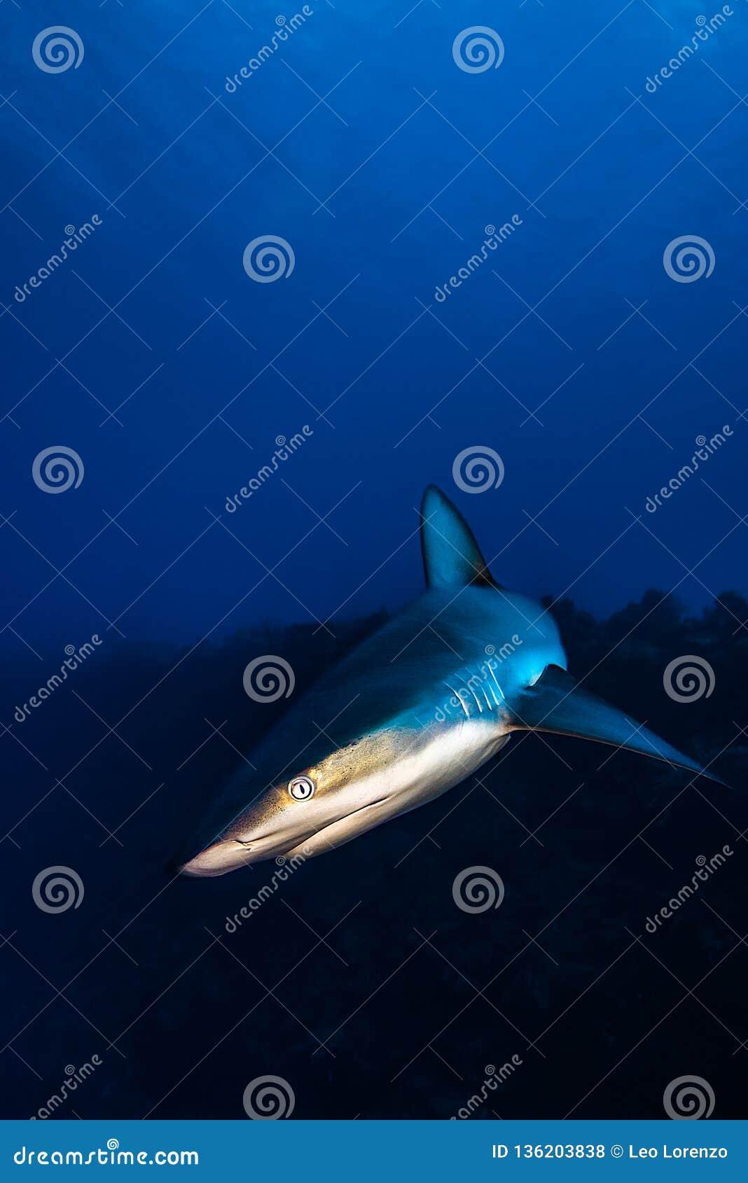 Grey Reef Shark encounter in a Caribbean reef.