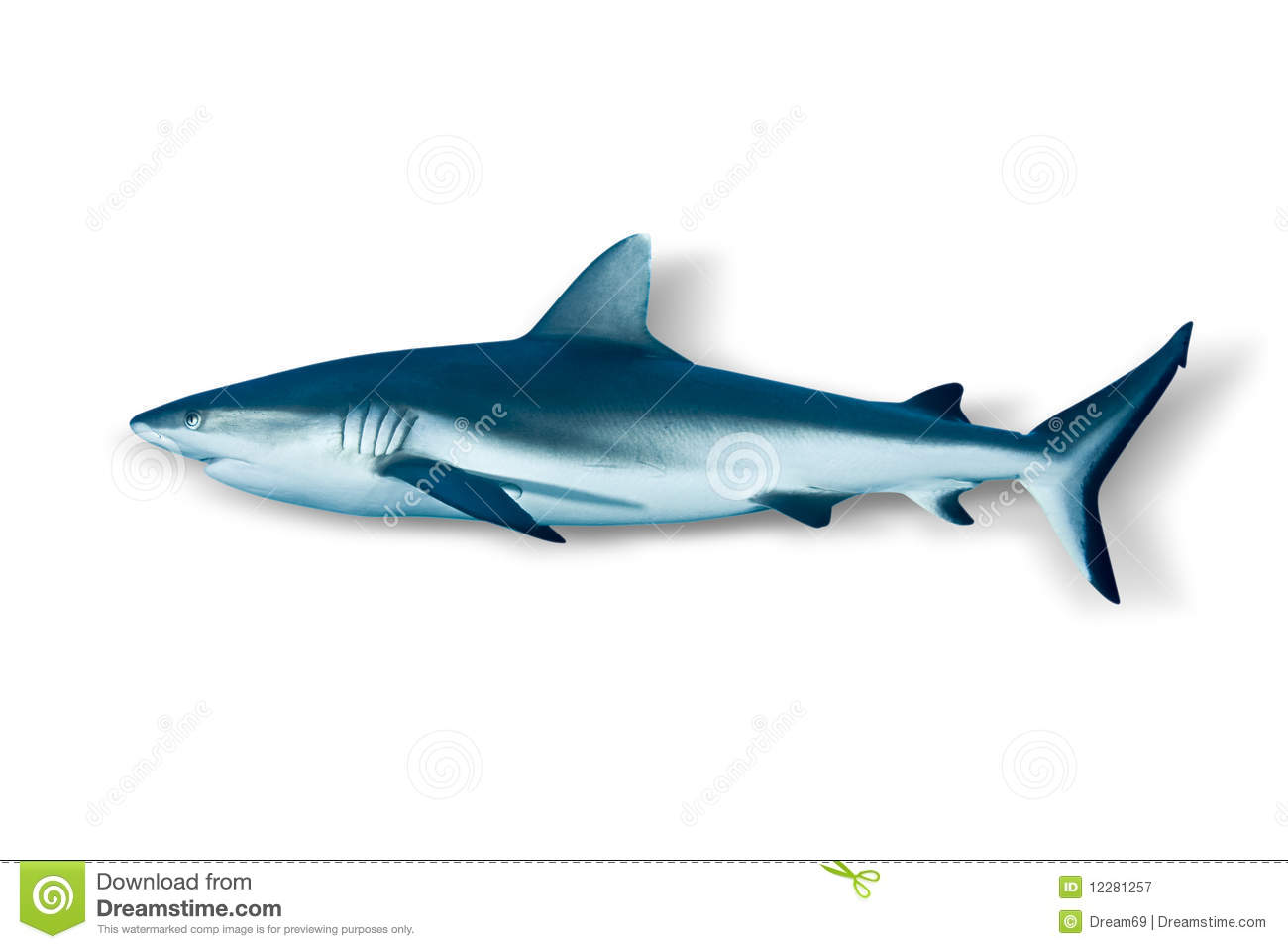 Grey Reef Shark Isolated On White Background Royalty Free