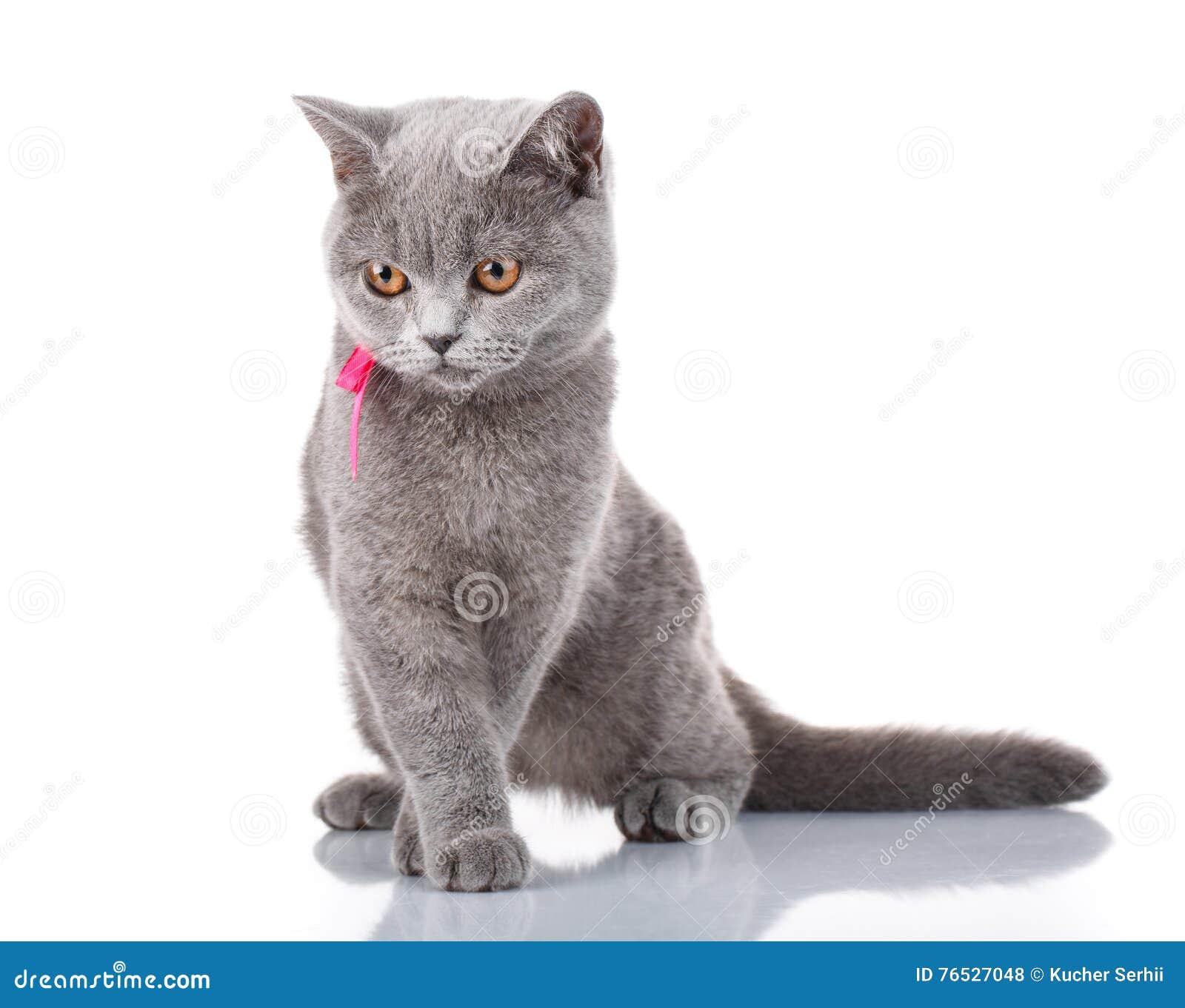 Grey Scottish Fold-kat met roze lintzitting op wit, concept gunst