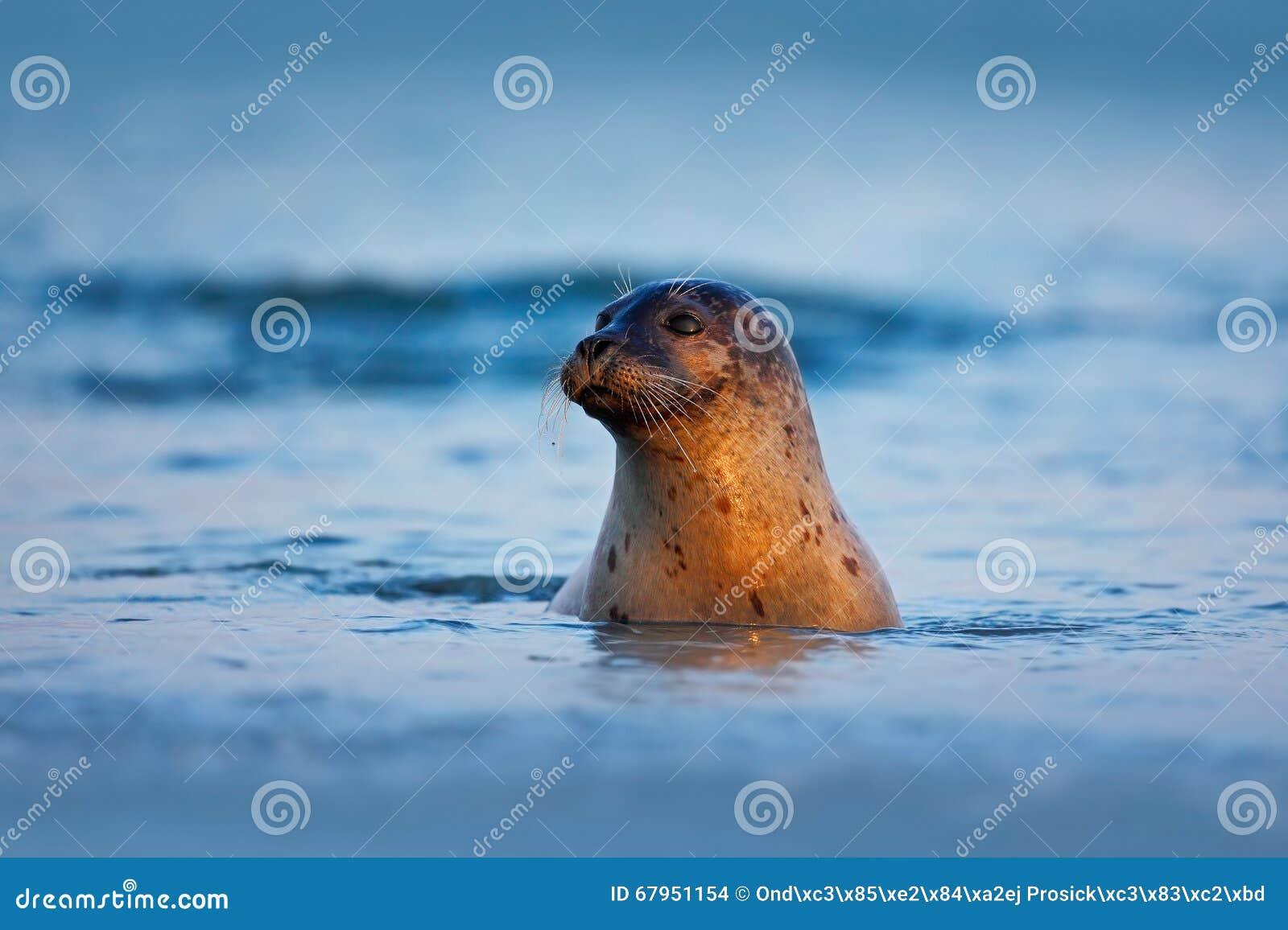 Grey Seal atlántico, grypus de Halichoerus, retrato en el sol azul marino de la mañana del ingenio del agua, natación animal en l