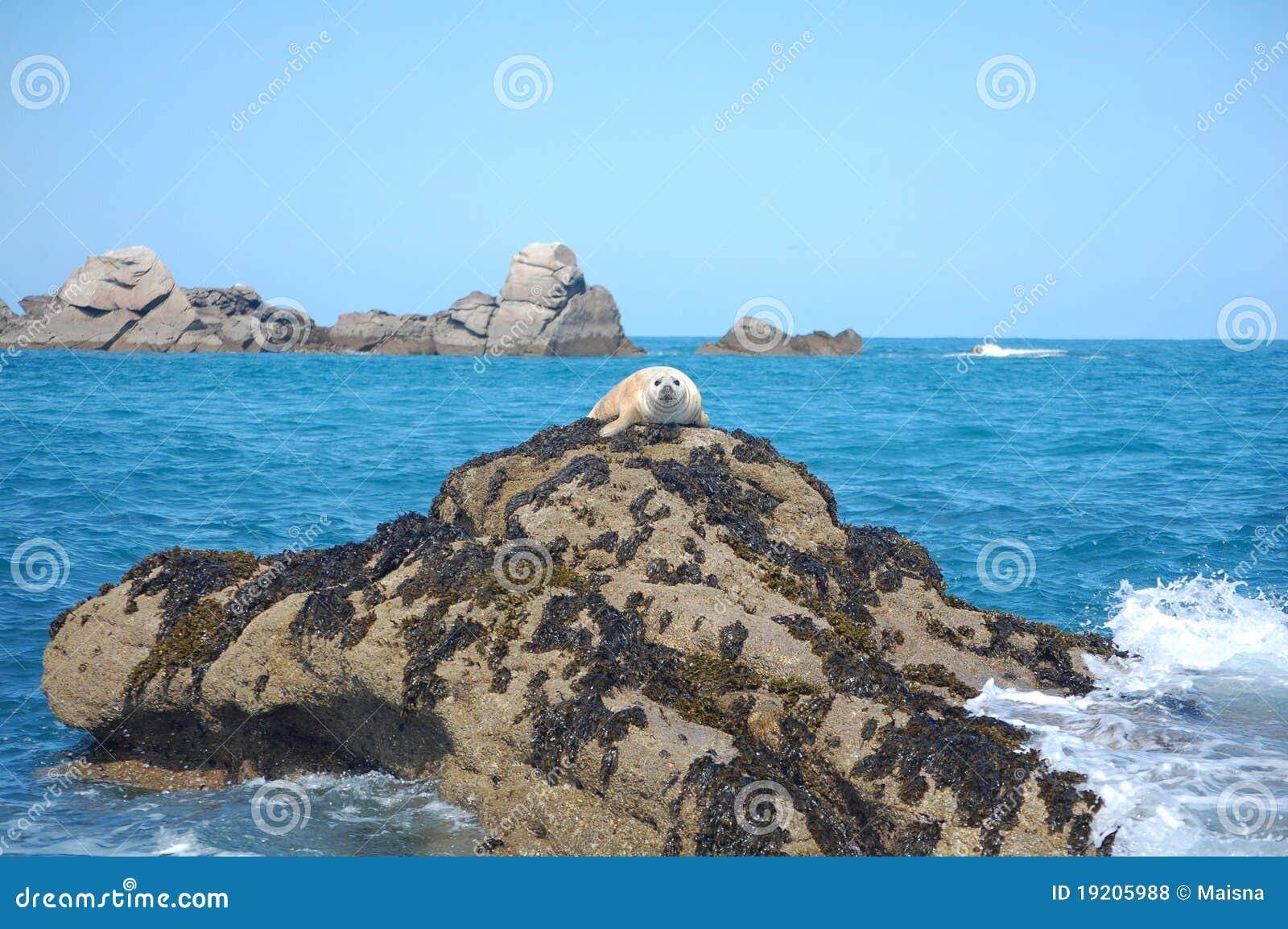 Grey seal pup on rock