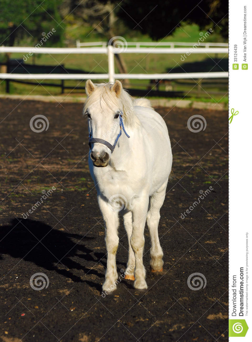 Grey Show Pony Royalty Free Stock Images Image 33124439