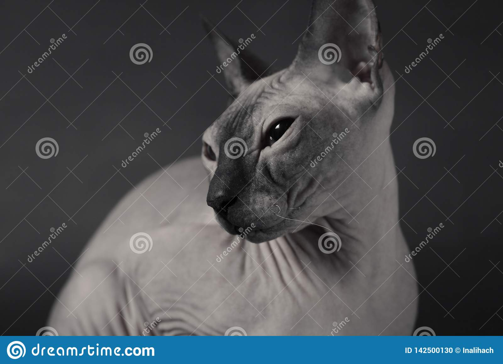 Grey Sphynx Cat
