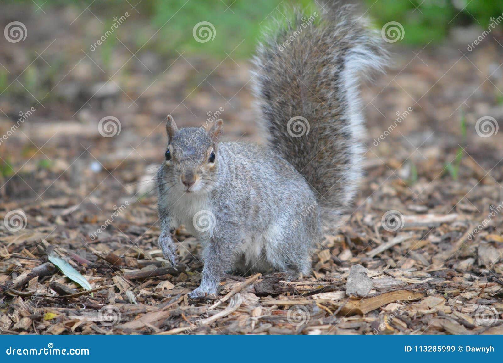 Grey Squirrel in bos