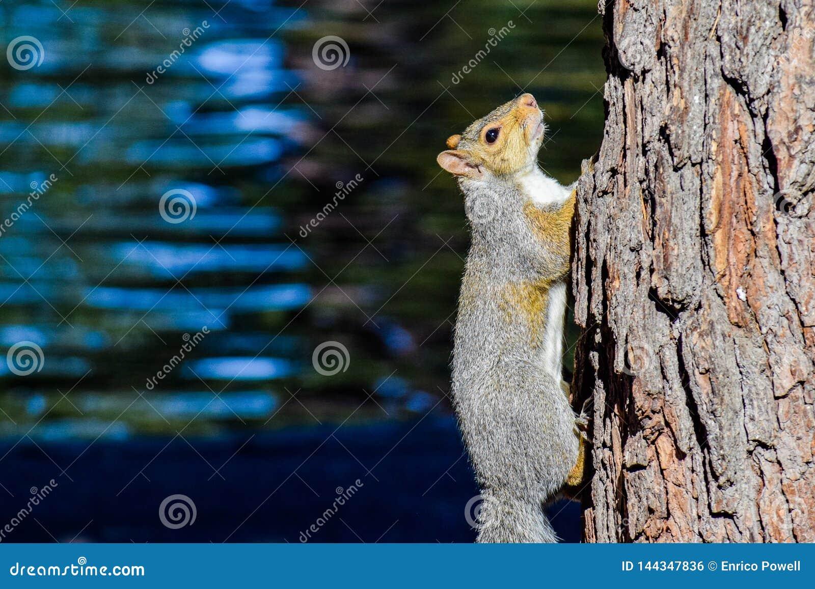 Grey Squirrel del este - Sciurus Carolinensis