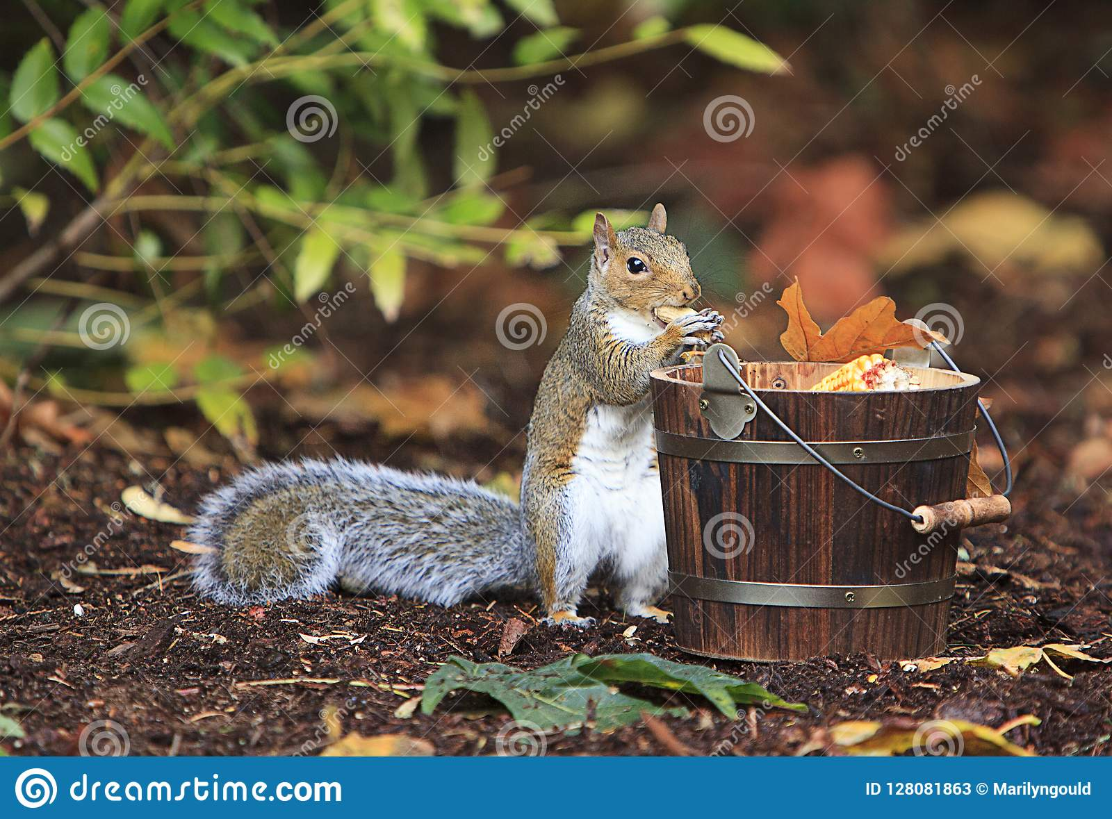Grey Squirrel Eating Peanut from Wood Bucket
