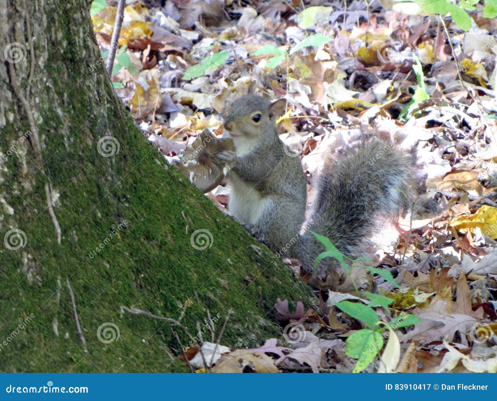 Grey Squirrel eats a mushroom