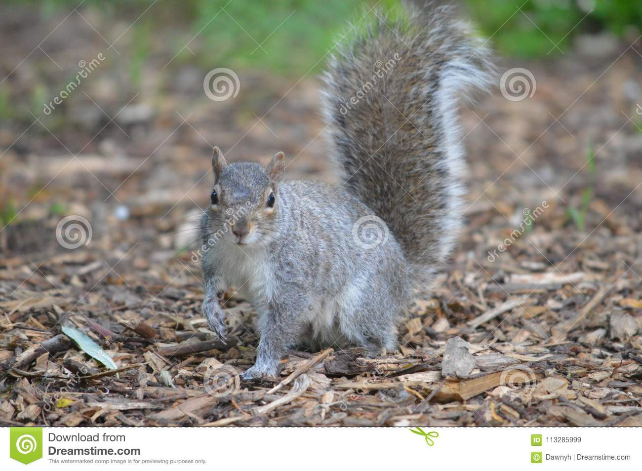 Grey Squirrel en arbolado