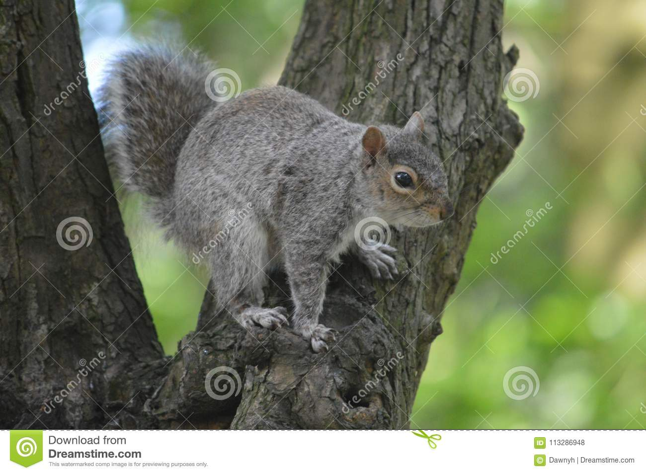 Grey Squirrel en un árbol en arbolados