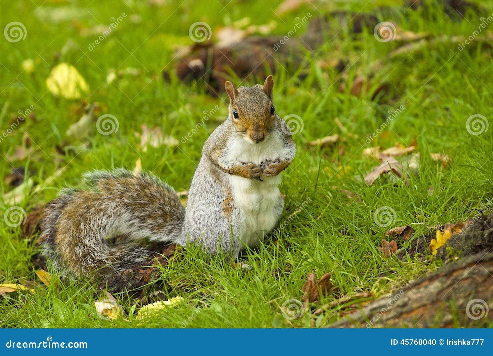 Grey Squirrel im Herbst