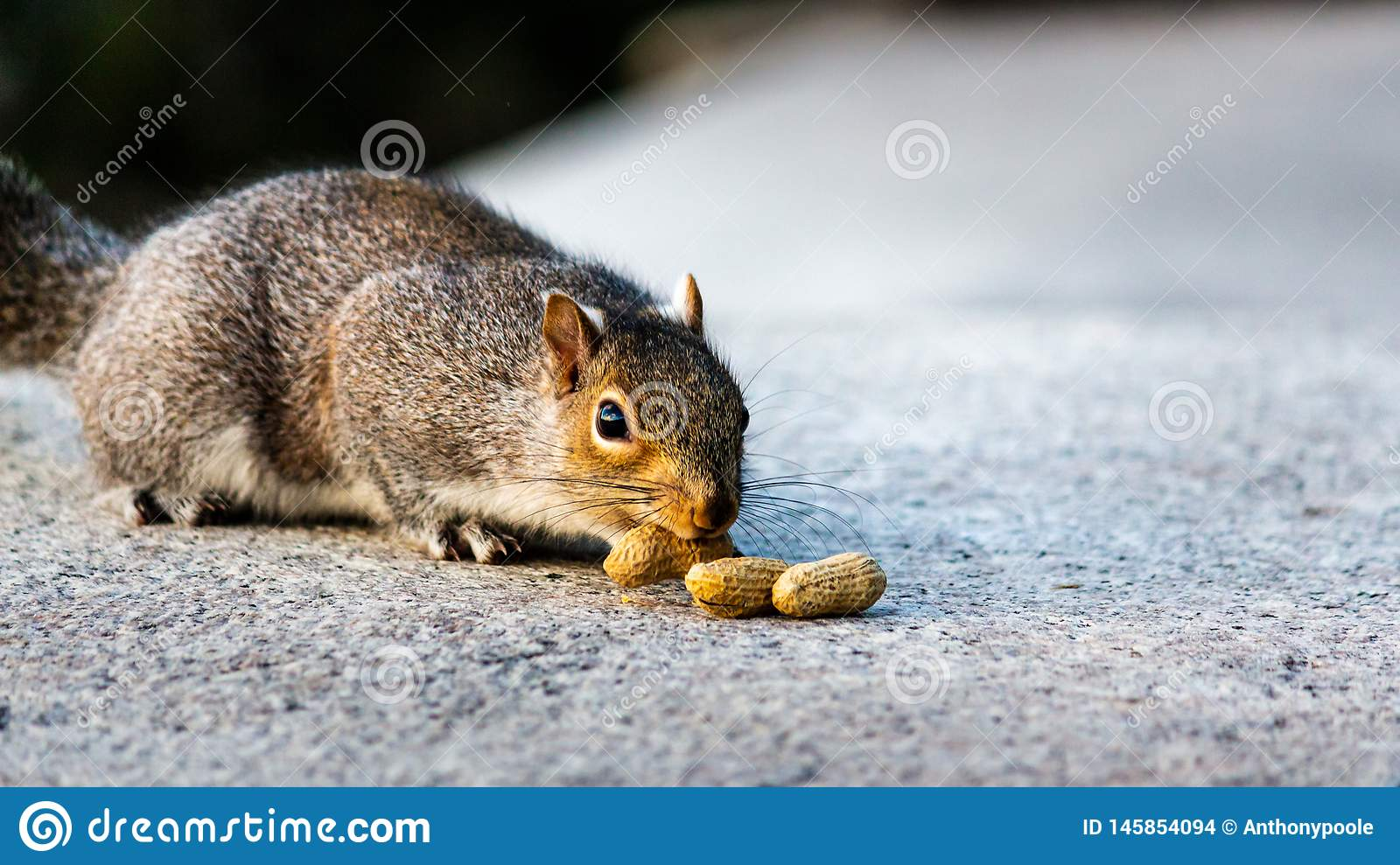 Grey Squirrel Lured by Groundnuts