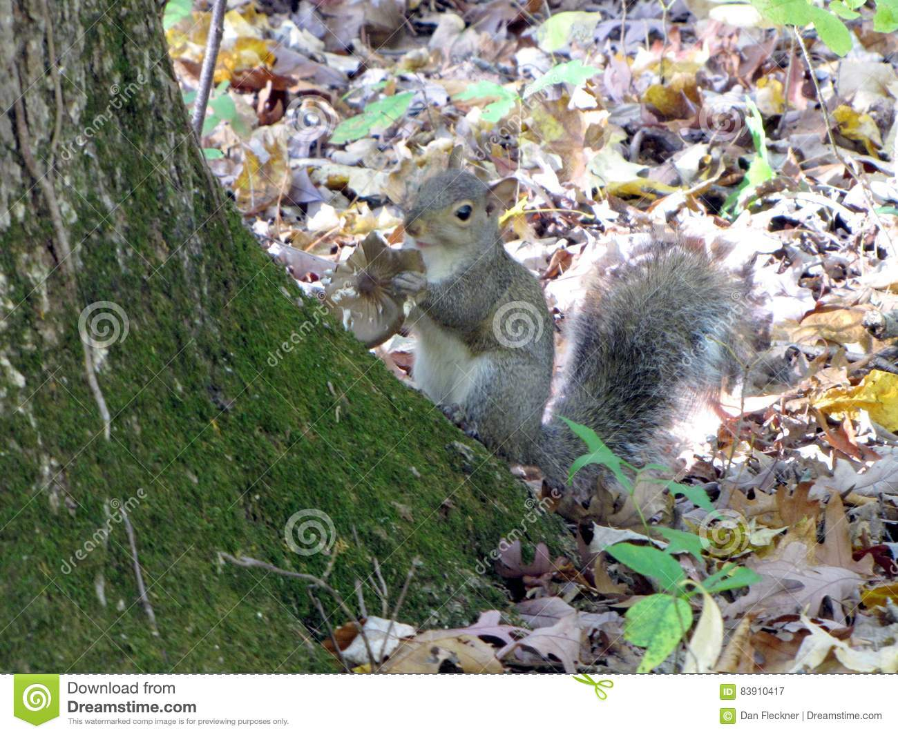 Grey Squirrel mange un champignon