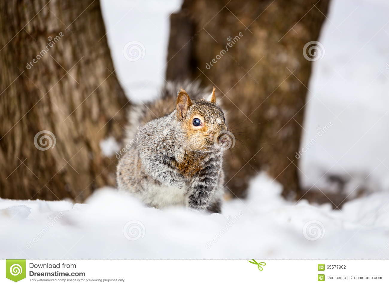 Grey Squirrel na neve, Lachine, Montreal, Quebeque, Canadá