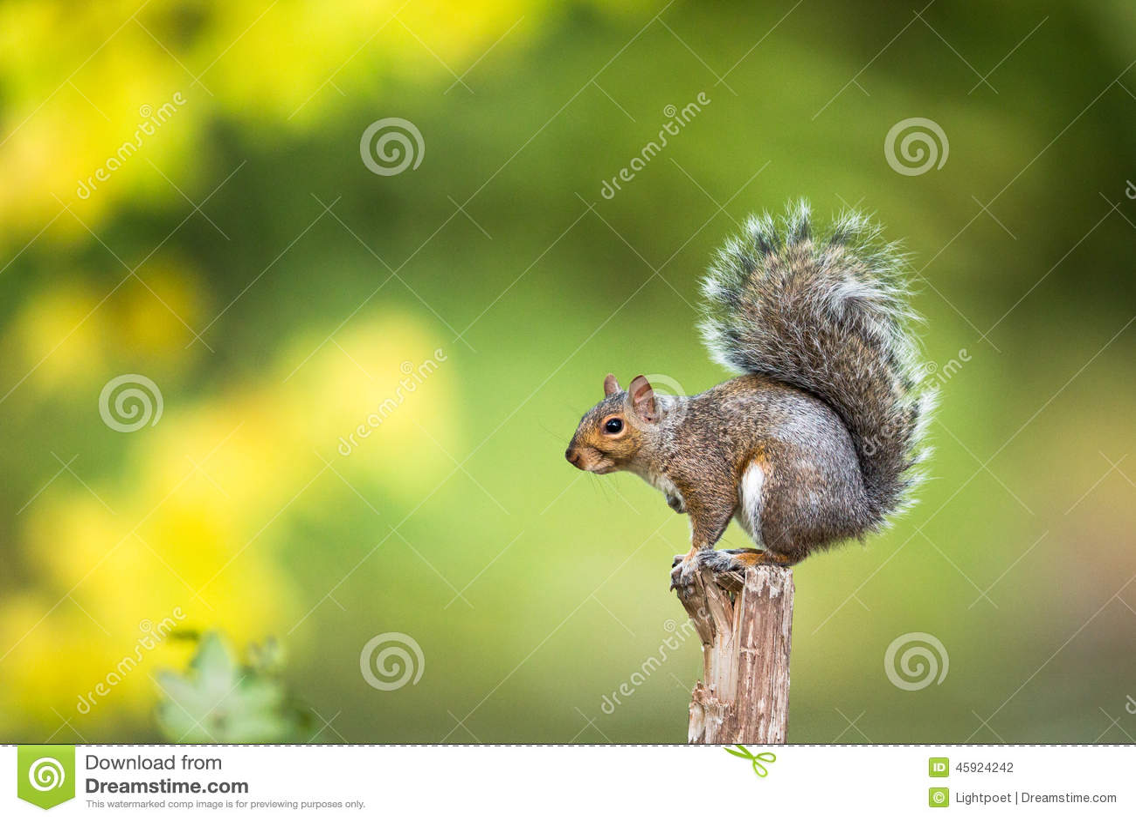 Grey Squirrel oriental