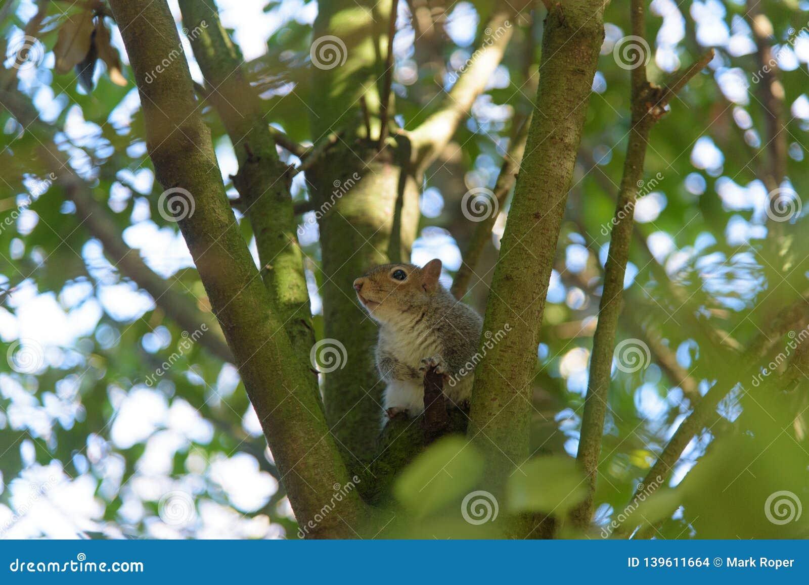 Grey Squirrel que se sienta en un árbol y una mirada