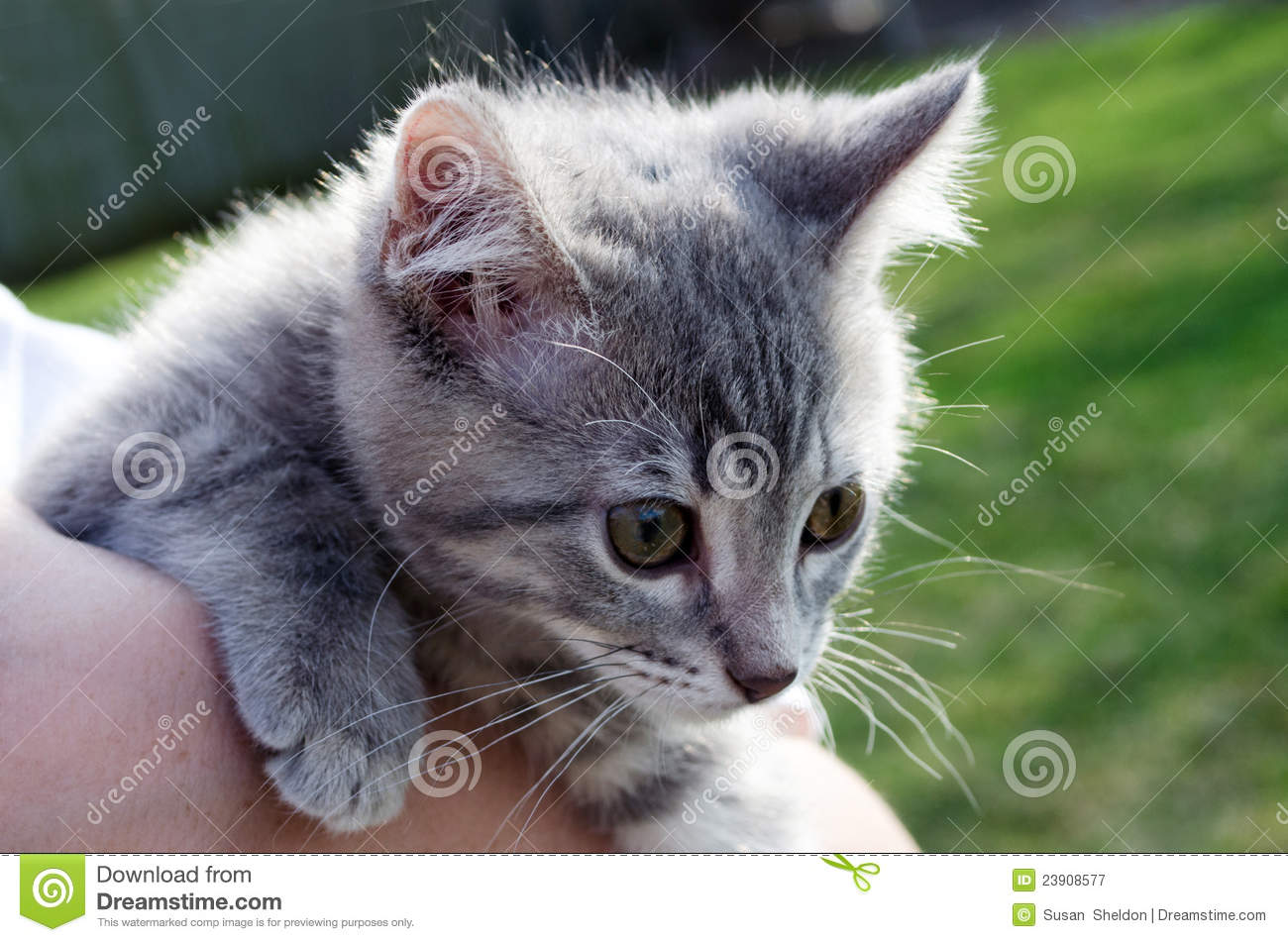 Grey Striped Baby Kitten Royalty Free Stock graphy Image