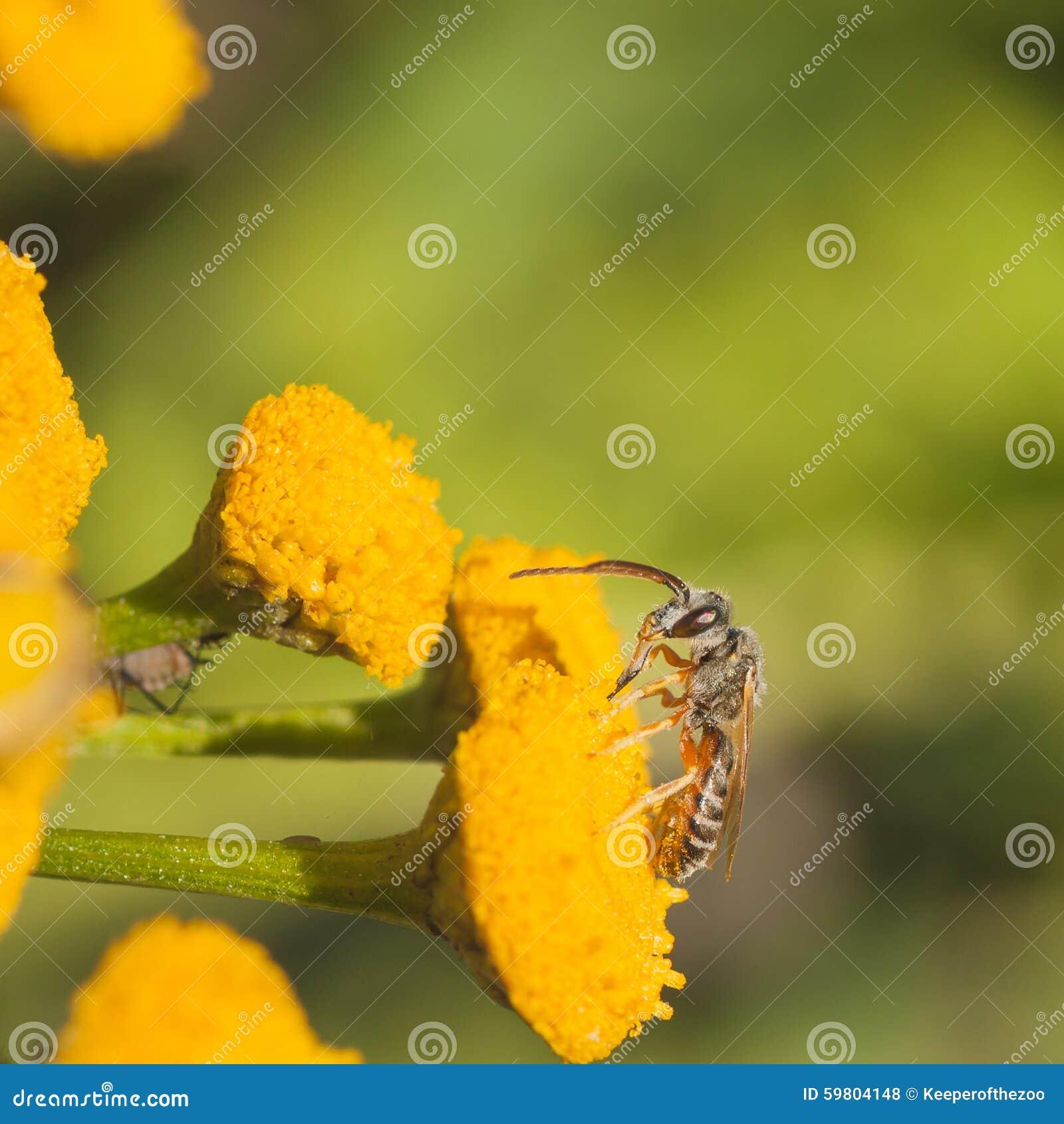 Grey Sweat Bee