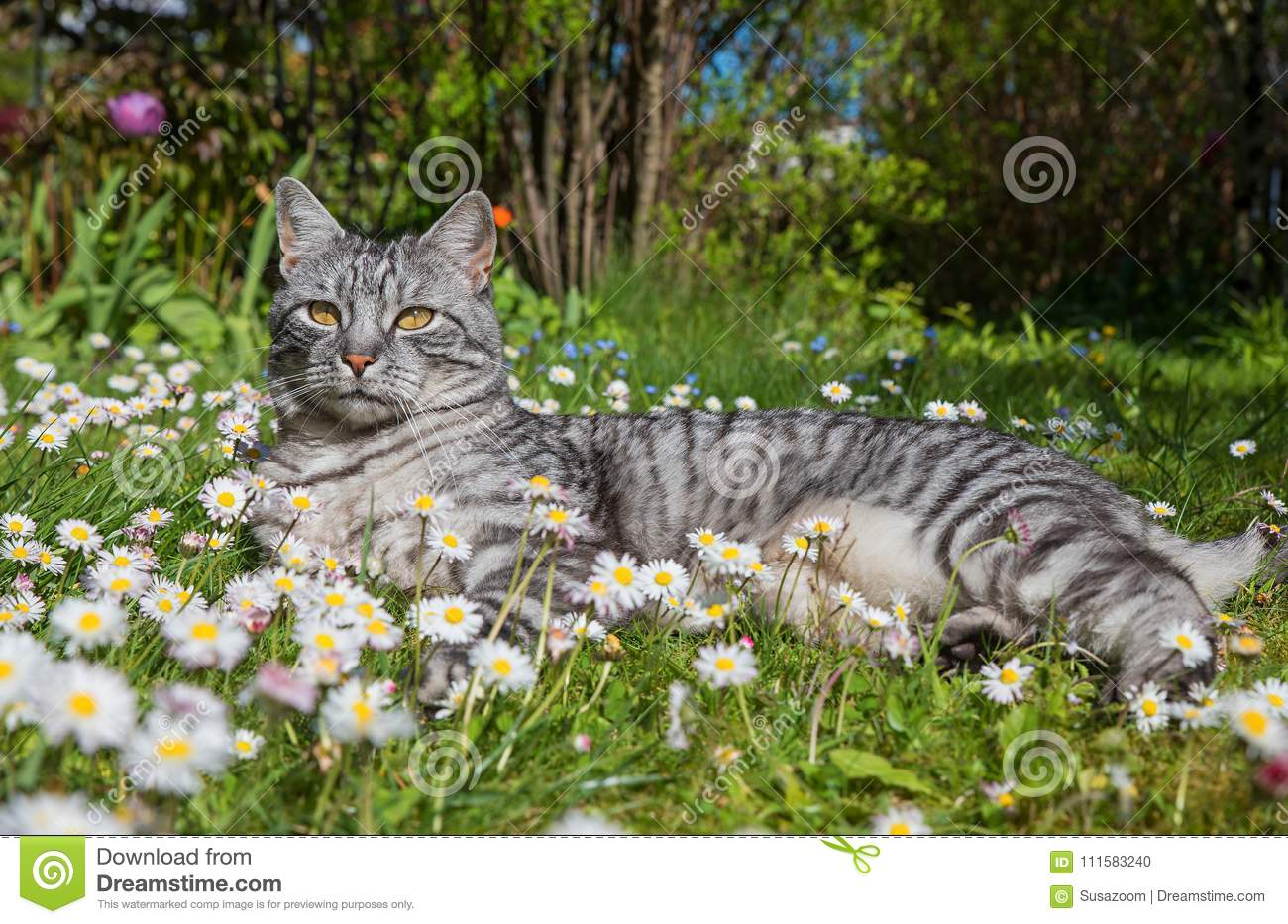 Grey tabby cat in the daisy flower meadow stock photo image of download comp izmirmasajfo