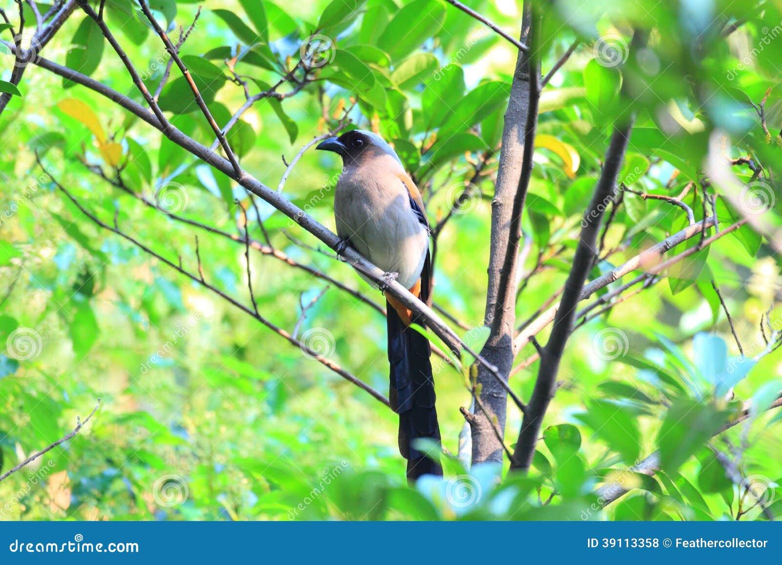 Grey Treepie of Himalayan Treepie