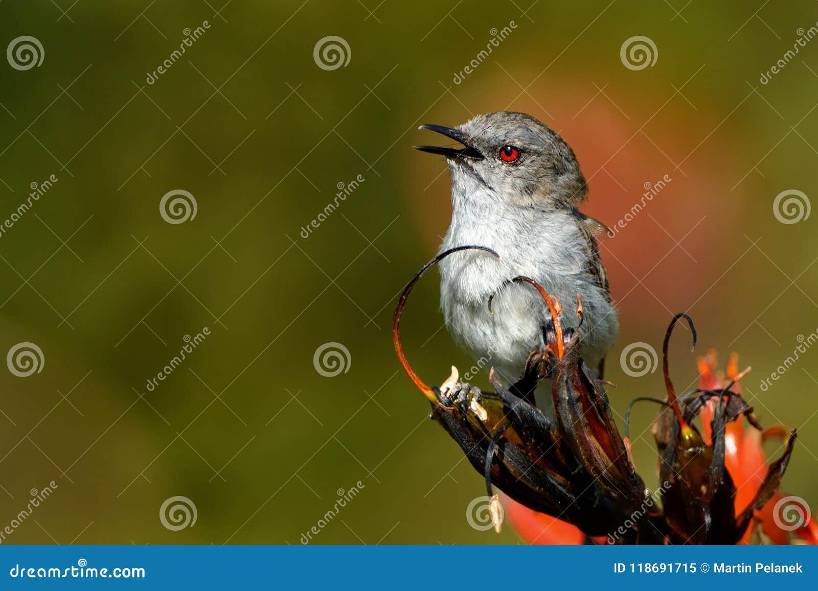 Grey warbler - Gerygone igata - riroriro common small bird from New Zealand