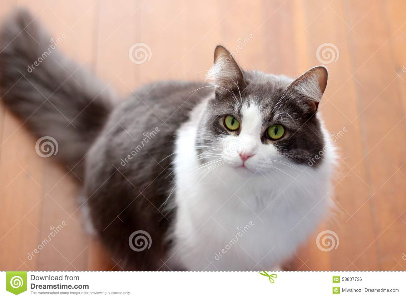 Grey And White Cat With Green Eyes Stock Image