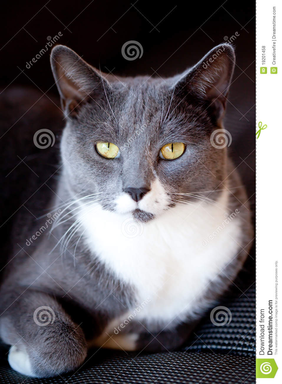grey and white cat portrait royalty free stock photos. Black Bedroom Furniture Sets. Home Design Ideas