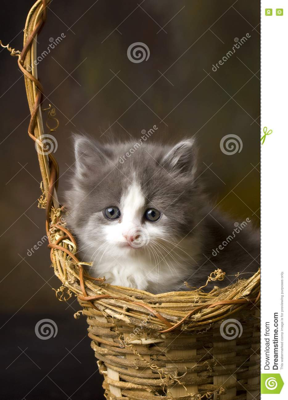 Grey And White Kitten In Basket Royalty Free Stock ...