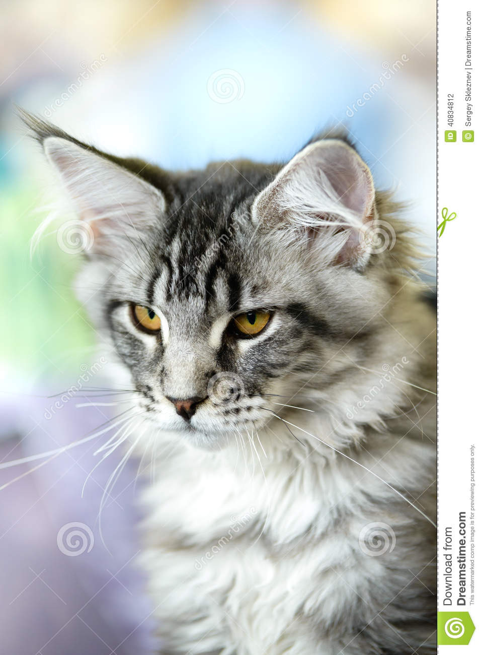Grey-white Tabby Maine Coon Cat Stock Photo - Image: 40834812 Tabby Maine Coon Kitten
