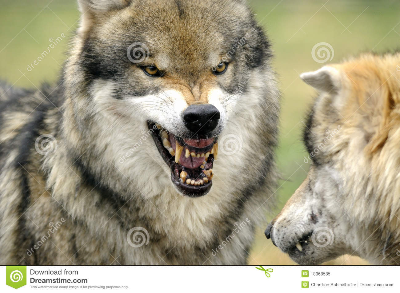 Grey Wolf ( Canis lupus )