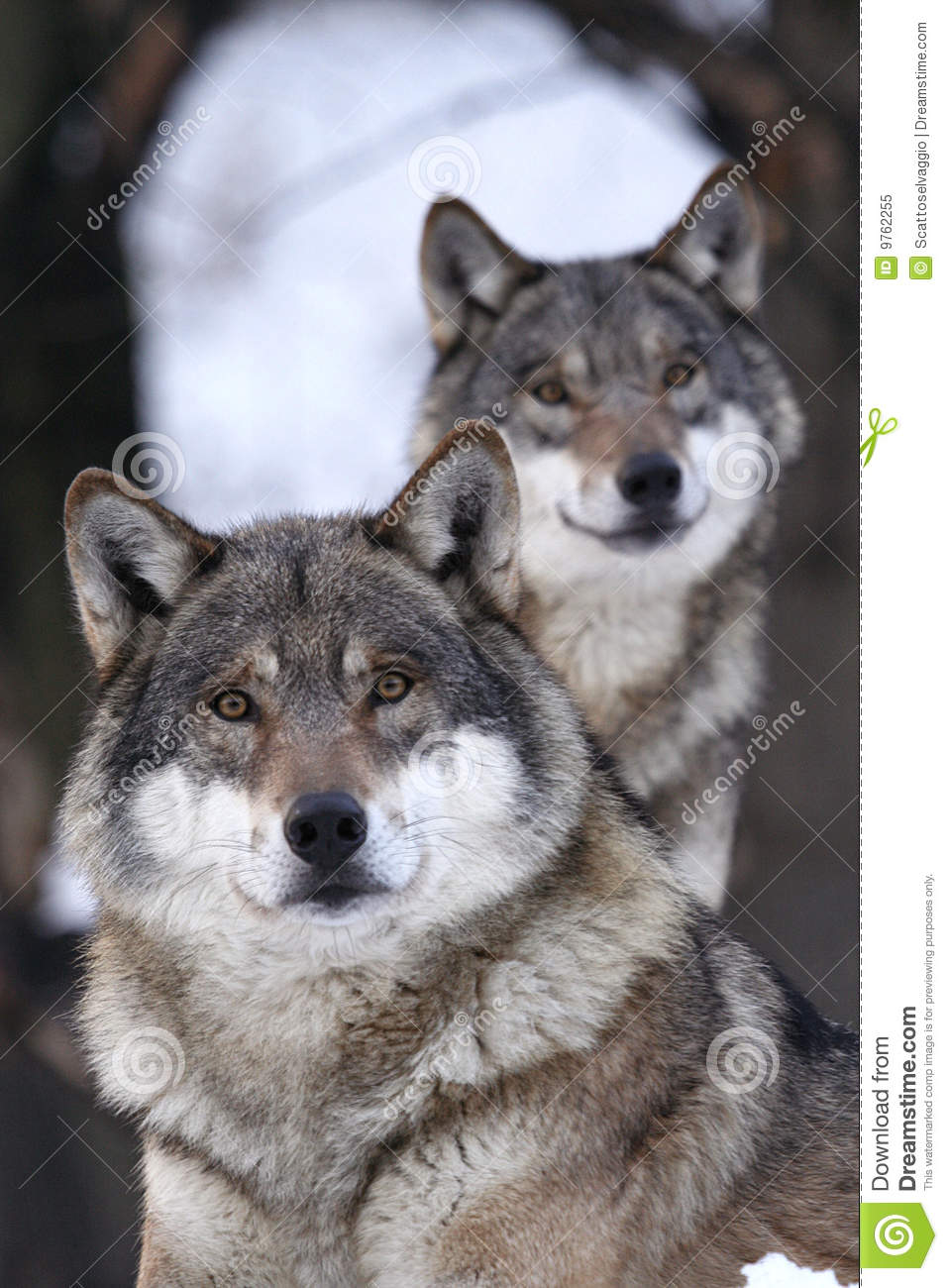Pair of looking wolves foreground. The wolf is not as bad as they say, but you better not take too much confidence.