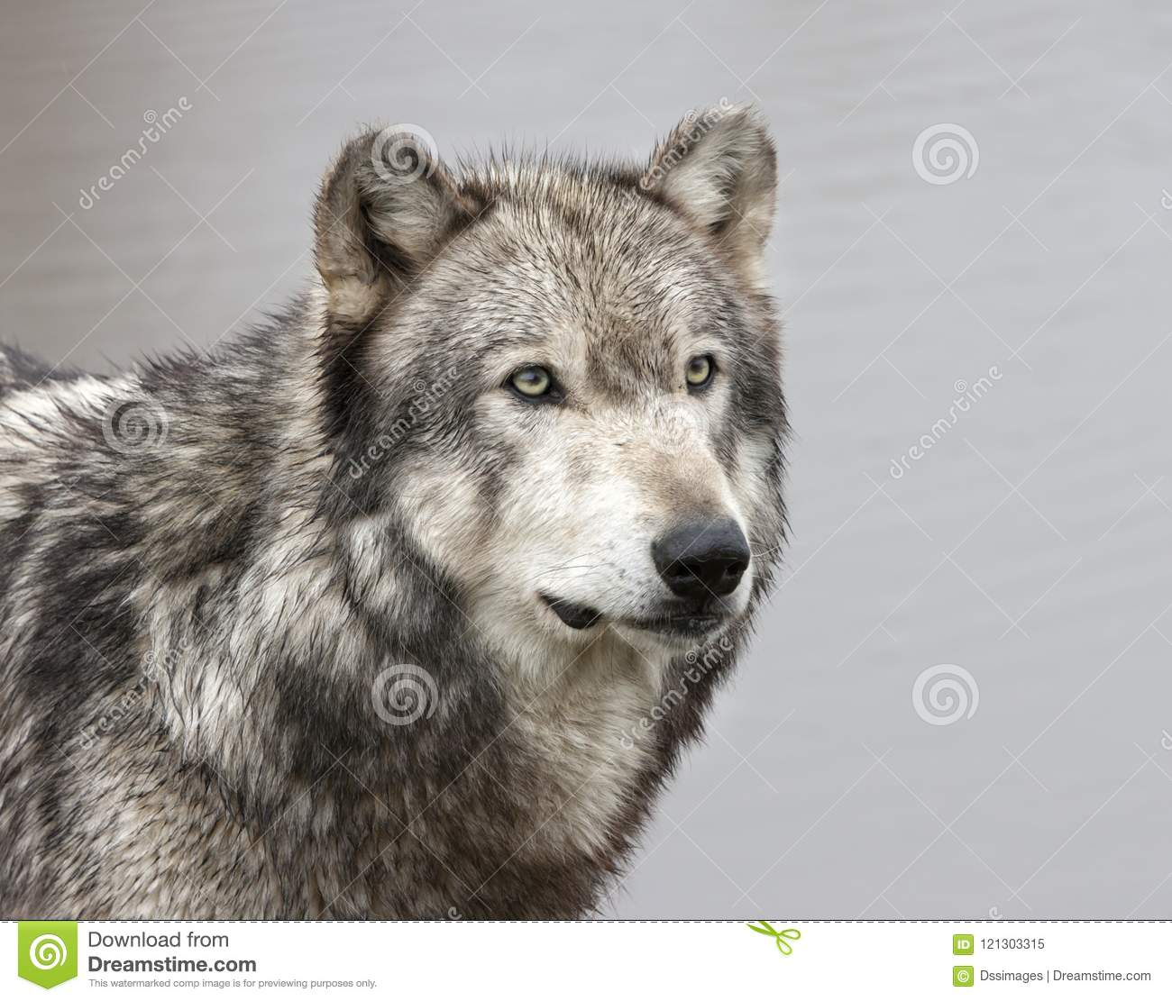 Grey Wolf With Green Eyes Close Up Stock Image - Image of ...