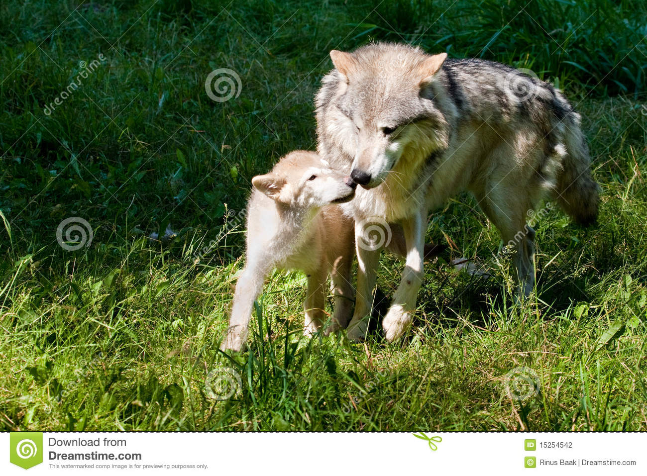 Grey wolf and pup